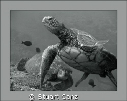 Turtles at the cleaning station. by Stuart Ganz 